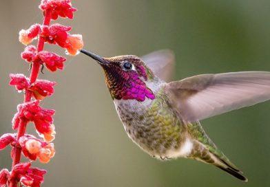 Cientistas revelam o mistério por que os beija-flores emitem zumbido